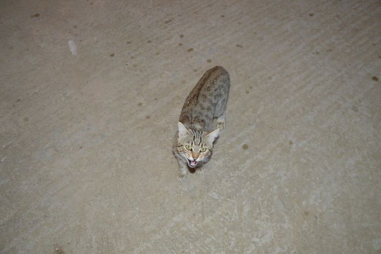 Animal Head  Cat Fame Felino Gatto Hungry Nature No People One Animal Outdoors Wildlife