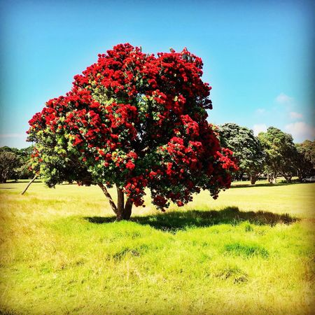 The New Zealand Christmas tree. Growth Red Grass Tree Nature Flower Beauty In Nature Sky Outdoors Day No People Freshness New Zealand New Zealand Scenery Pohutukawa