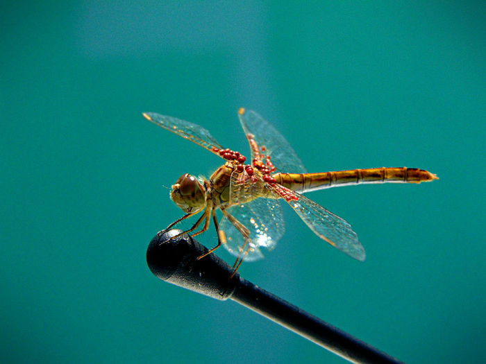 Close-up of dragonfly on metal against turquoise background