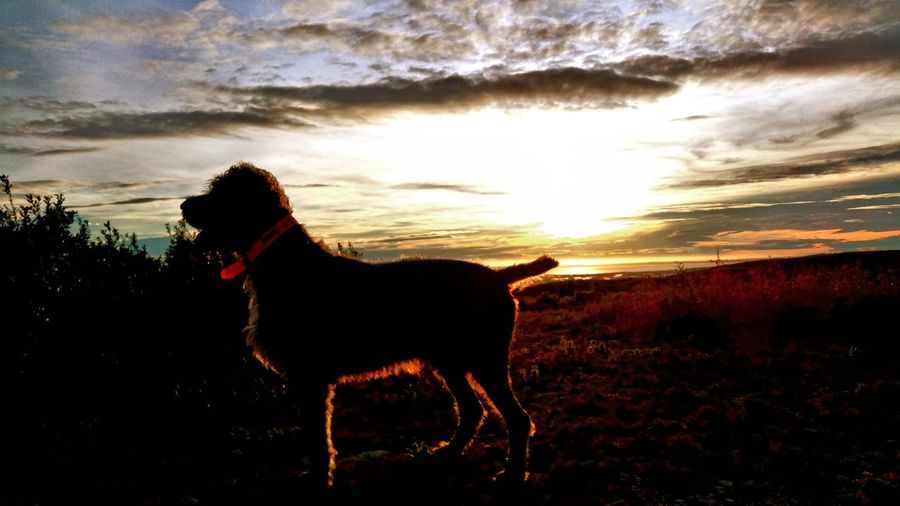 Dog standing on field at sunset