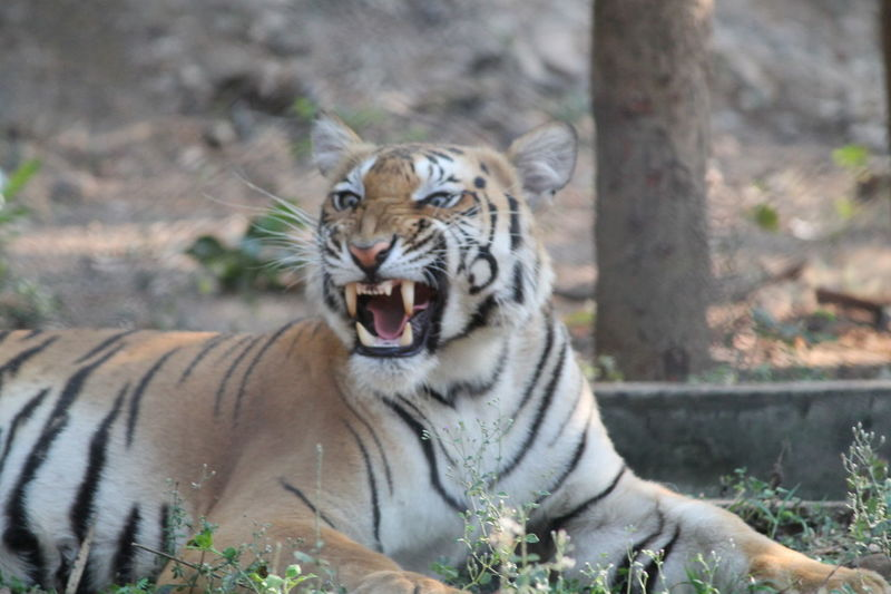 Portrait of tiger in zoo