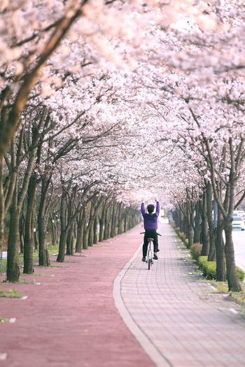 A man rides a bike along a cherry blossom load. It must be fun. His body says it's right. Cherry Blossoms Spring Load Street Photography