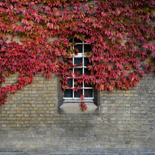 Autumn Autumn Colors Autumn Leaves Autumn Collection Ivy Leaves Ivy Wall Ivy Covered Ivy Window Beauty In NatureFall Leaves Fall Colors Nature Blossom Blooming Outdoors In Bloom Pink Color Growth Window Wall Red