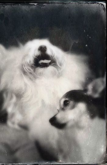 A captured moment...love IPhoneography Tender Moments Tendernesslove No People Blackandwhite Tintype Soft Focus Dogs Portrait Close-up