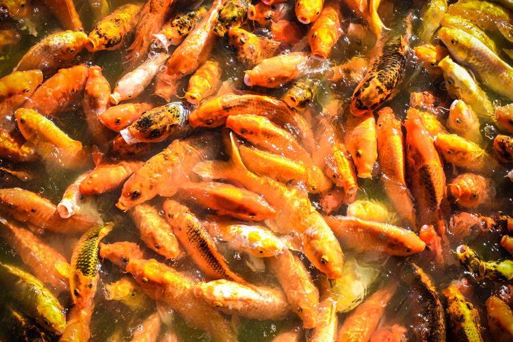 High Angle View Of Koi Carp In Pond