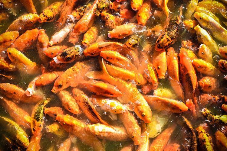 Khoi fishes in Nuvali Park, Laguna, Philippines. Fish Khoifish Khói Nuvali Orange Color Pets Pond Pond Life First Eyeem Photo