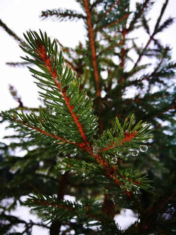 GreenTree Tree Nature Pine Tree No People Leaf Green Color Winter