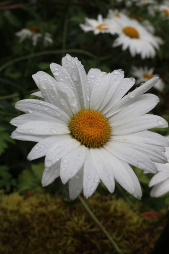 Close-up of wet white flower