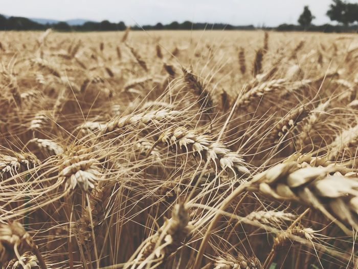 🌾 Agriculture Field Farm Crop  Cereal Plant Growth Nature Wheat Landscape Rural Scene No People Tranquil Scene Scenics Tranquility Outdoors Focus On Foreground Ear Of Wheat Day Beauty In Nature Plant