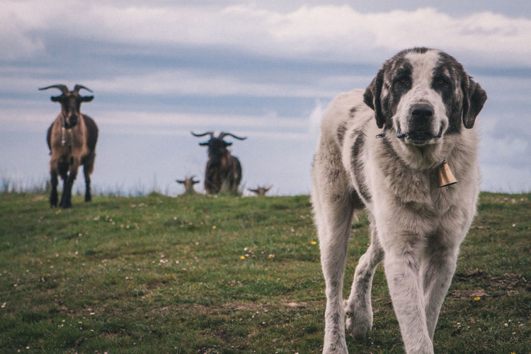 Dog on grassy field against cloudy sky
