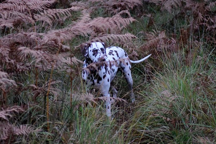 Dalmatian Dog Amidst Plants