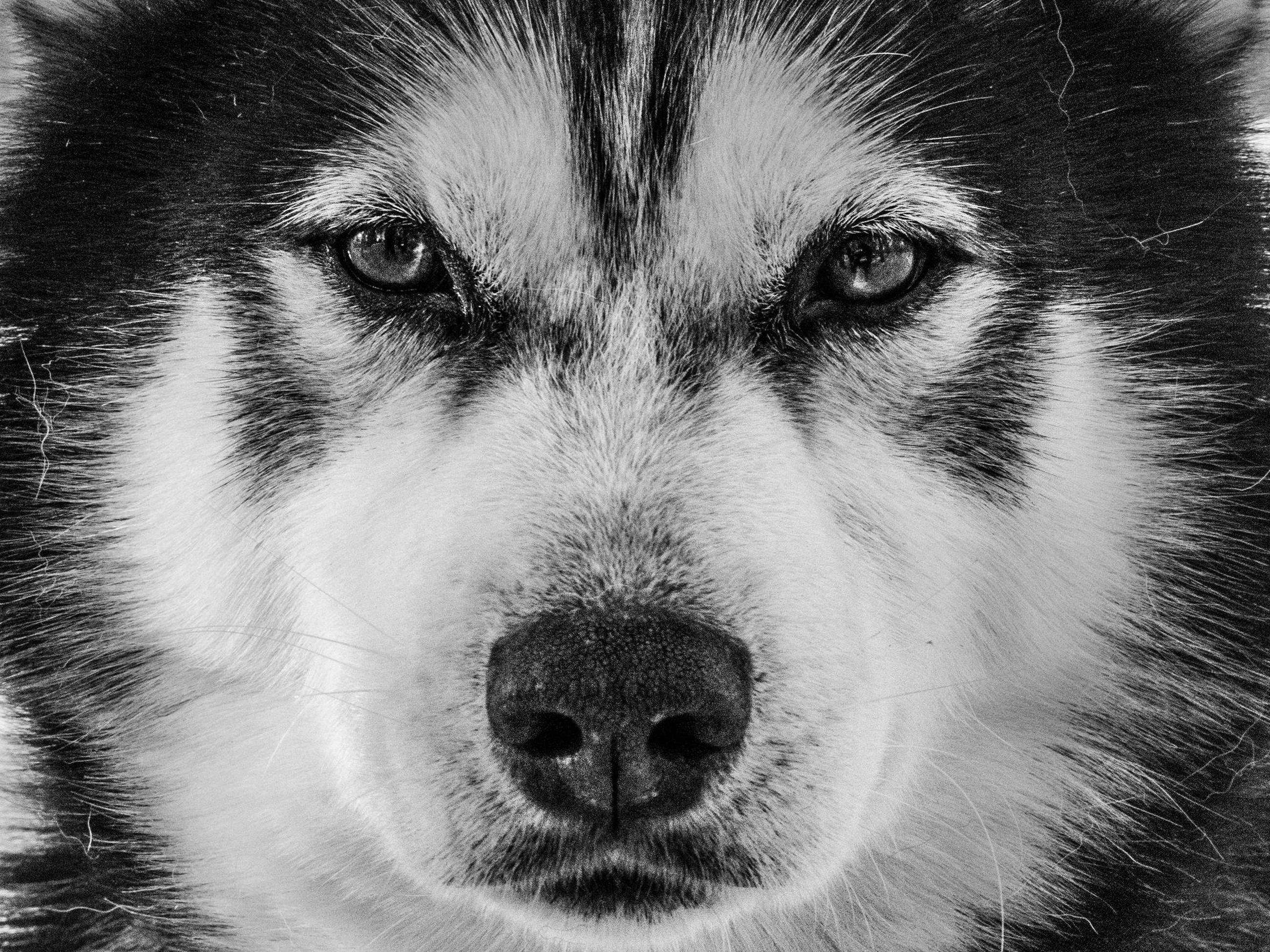 pets, one animal, animal themes, domestic animals, mammal, portrait, close-up, looking at camera, animal head, dog, animal body part, animal eye, black color, snout, whisker, staring, no people, front view, focus on foreground, alertness