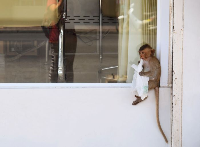 baby monkey sitting on the window Window Animal Wildlife One Animal View Copy Space Natural Outdoors Monkey Sitting Eating Baby Kids Lopburi Thailand Thailand Lovely Cute Small Door Closed Door