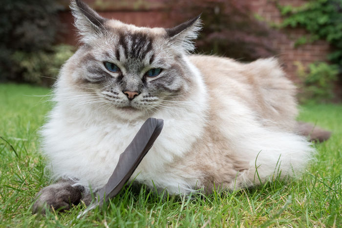 Ragdoll Cat Playing With A Feather Outdoors On A Grass Lawn. Blue Eyes Grass Animal Themes Close-up Day Domestic Animals Domestic Cat Feather  Feline Grass Longhaired Cats Mammal Nature No People One Animal Outdoors Pedigree Cat Pets Rag Doll Cat Ragdoll Cat Seal Lynx Pointed White Cat