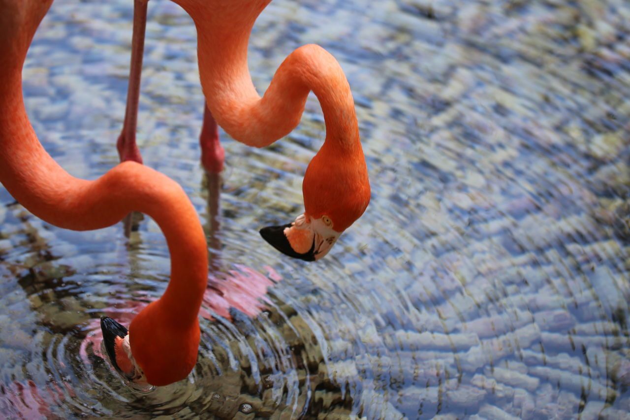 one animal, water, rippled, outdoors, animal themes, day, animals in the wild, waterfront, focus on foreground, nature, lake, real people, swimming, low section, close-up, flamingo