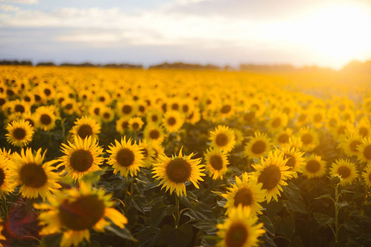 Agriculture Beauty In Nature Environment Farm Field Flower Flower Head Flowering Plant Fragility Freshness Growth Land Landscape Nature No People Outdoors Plant Pollen Rural Scene Sky Springtime Sunflower Tranquility Vulnerability  Yellow