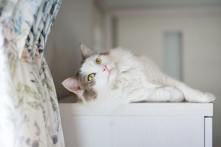 Portrait of a white cat relaxing at home