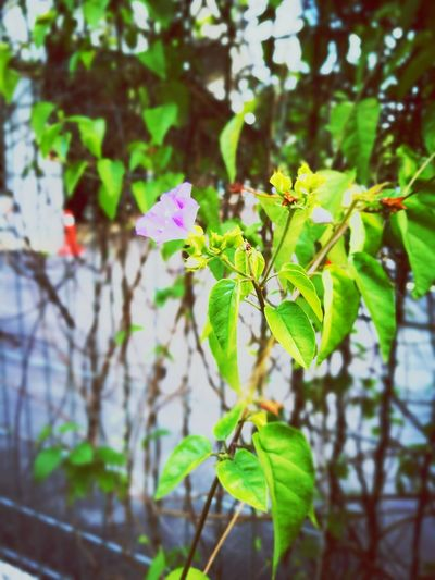 A fence and a flower Flower Growth Nature Fragility Freshness Plant Beauty In Nature Focus On Foreground Purple Leaf Day Close-up Outdoors Green Color Flower Head Blooming No People Tree