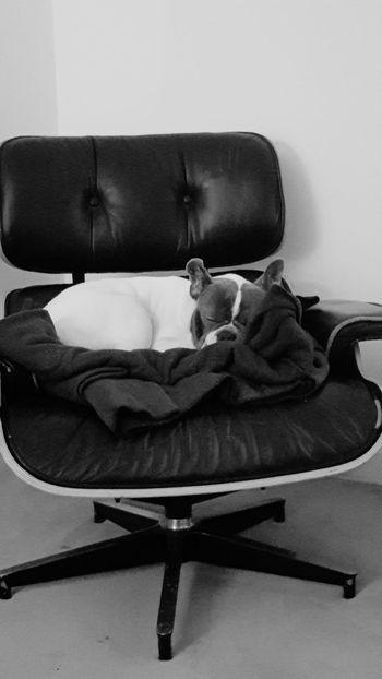 Sieste sur mon fauteuil Relaxing Capture The Moment Chien Paris ❤ Bouledoguefrancais French Bulldog Bouledoguefrancais Bob Junior Paris Black And White