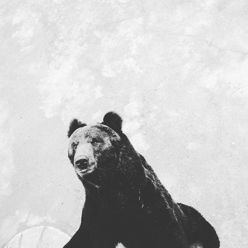 Brown bear at zoo