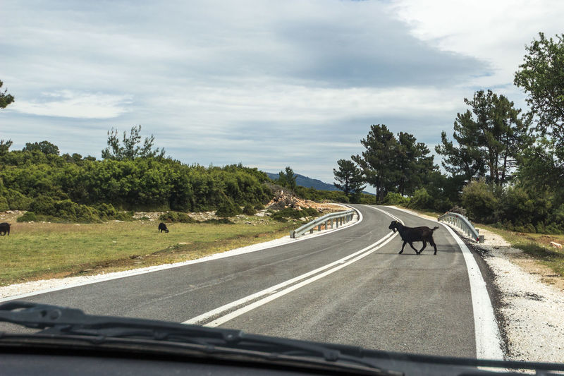 Thassos, Greece, new road to Kastro Asphalt Goat Thasos Thassos Animal Themes Car Car Point Of View Cloud - Sky Crossing Day Driving Greece Kastro Nature No People Outdoors Road Road Trip Scenics Sky The Way Forward Transportation Travel Tree Windshield