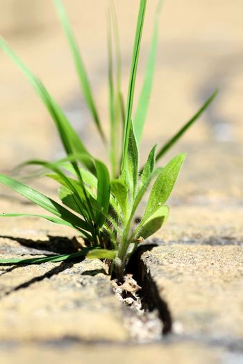 Beauty In Nature Close-up Day Freshness Grass Green Color Growth Hard Ground Leaf Nature No People Outdoors Plant Selective Focus Survival Of The Fittest Will Power