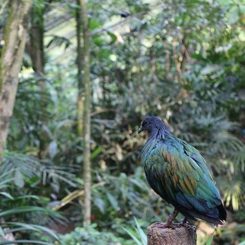 bird Blue Bird Bird Park Focus Singapore Jurong Bird Park Bird Perching Tree Branch Pine Tree Animal Themes Close-up Tropical Bird