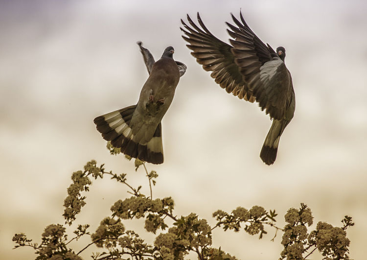 Bird Flying Animals In The Wild Animal Themes Animal Animal Wildlife Spread Wings Vertebrate Tree Mid-air Group Of Animals Nature Plant Low Angle View Bird Of Prey Sky Motion No People Day Two Animals Outdoors Eagle Flapping