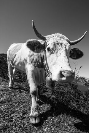 Animal Themes Beauty In Nature Blackandwhite Blackandwhite Photography Cattle Clear Sky Close-up Cow Day Horned Animals Livestock Mammal Mountain Nature No People Outdoors