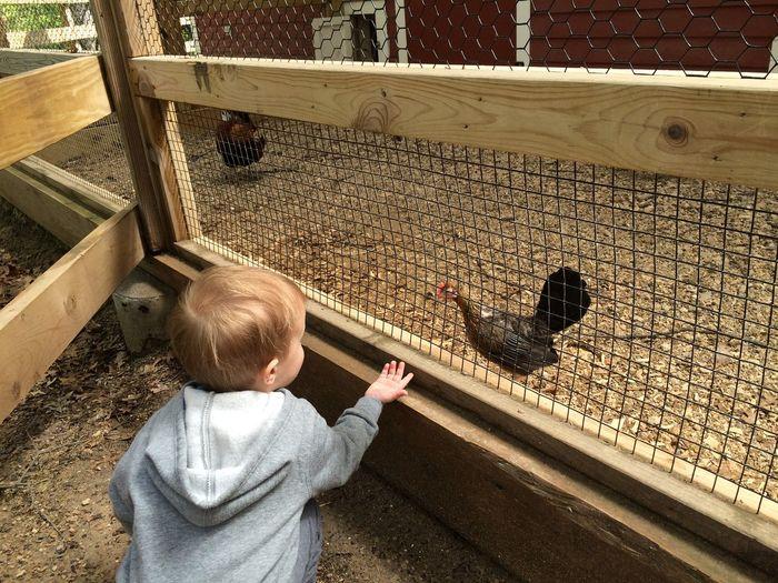 Boy watching hen in poultry farm