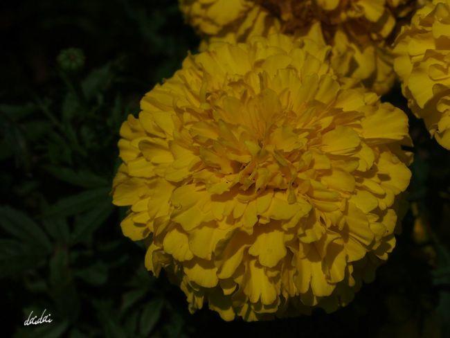 花びらを数えてみましょう E-PL3 Flower マリーゴールド Noedit