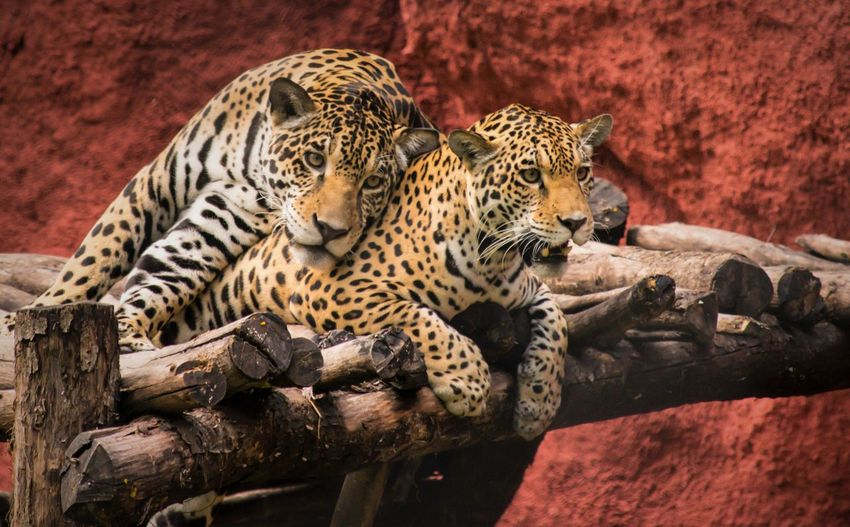 Amazing Looks.. i got scared lil bit while capturing this.. #jaguar Animal Animal Wildlife Animal Themes Mammal Animals In The Wild Feline Big Cat No People Cat Relaxation Vertebrate Tree Wood - Material Group Of Animals Carnivora Leopard Zoo Spotted Animals In Captivity Cheetah Whisker