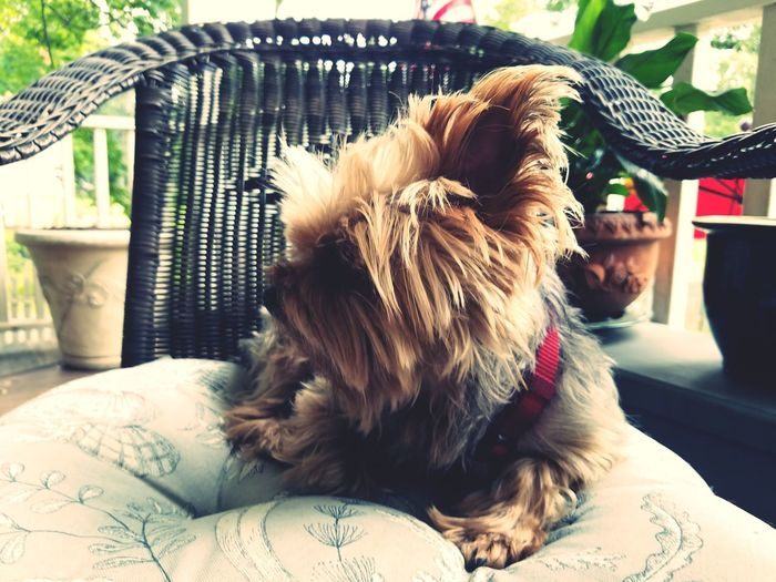 EyeEm Selects Pets Dog Domestic Animals One Animal Animal Themes Mammal Day Shih Tzu No People Indoors  Close-up Terrierpicture Terrierlove Terrier Animal Hair Lap Dog Animal Pet Portraits