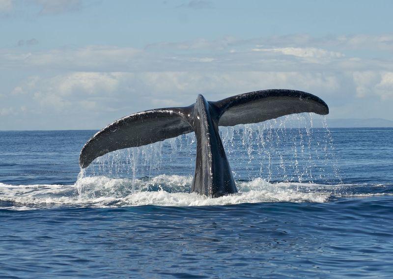 Fluke  Hawaii Humpback Humpback Whale Maui Megaptera Novaeangliae Action Shot  Animal Wildlife Animals In The Wild Aquatic Mammal Fluke Shot Humpback Whale Mammal Marine Marine Mammal Nature One Animal Sea Sea Life Sky Tail Fin Underwater Water Whale