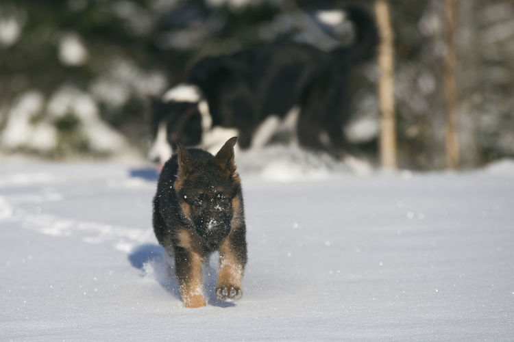 Border Collie Animal Themes Cold Temperature Day Domestic Animals Frozen German Shepherd Mammal Nature No People One Animal Outdoors Pets Puppy Snow Weather Winter