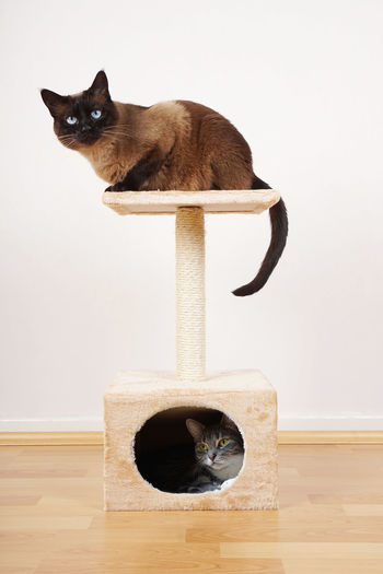 Cat Cat Furniture Cat Play Tower Cat Tree Cats Domestic Cat Hideaway Home Indoor Pets Playing Resting Scratcher Sitting Two Animals