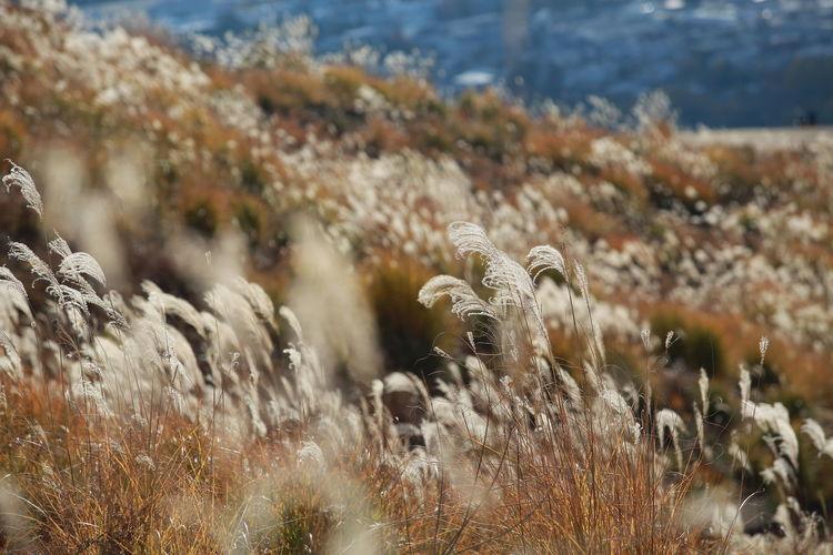 Mount Wakakusa Grass Beauty In Nature Foxtail Grasses Grassland Grassy Hill Landscape Meadow Mountain Nature No People Slope Wakakusayama