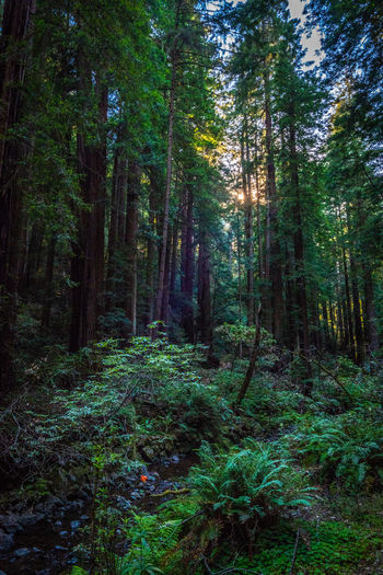 Forest Land Tree Plant Tranquility WoodLand Growth Nature Day Green Color No People Beauty In Nature Tranquil Scene Scenics - Nature Foliage Lush Foliage Non-urban Scene Outdoors Remote Tree Trunk Rainforest Trail Redwoods