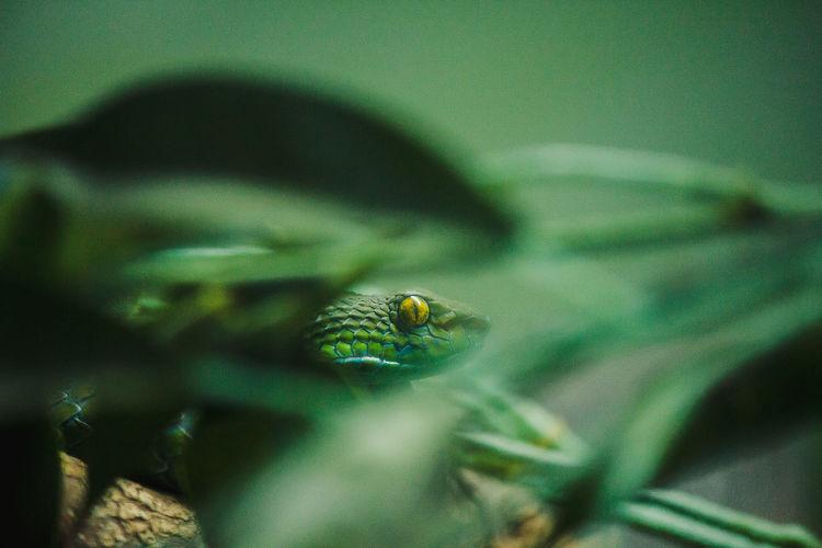 Corn snake is a popular snake