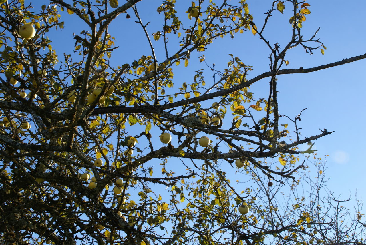 nature, low angle view, day, tree, branch, growth, no people, beauty in nature, outdoors, clear sky, sky