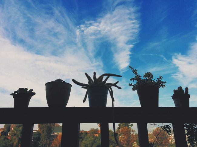 Good day. Morning Cactus Cactus Garden Los Angeles, California Vscocam Vscocali Vscola Vscoblue Iphonography Silhouettes