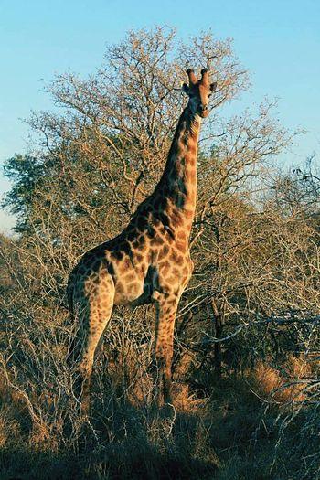 Animals In The Wild One Animal Animal Wildlife Safari Animals Giraffe Animal Themes Sud Africa Park Kruger Safari Safari Adventure