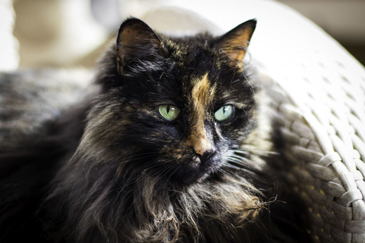 Animal Animal Body Part Animal Eye Animal Head  Animal Themes Cat Close-up Domestic Domestic Animals Domestic Cat Feline Focus On Foreground Indoors  Looking At Camera Mammal No People One Animal Pets Portrait Relaxation Vertebrate Whisker Yellow Eyes