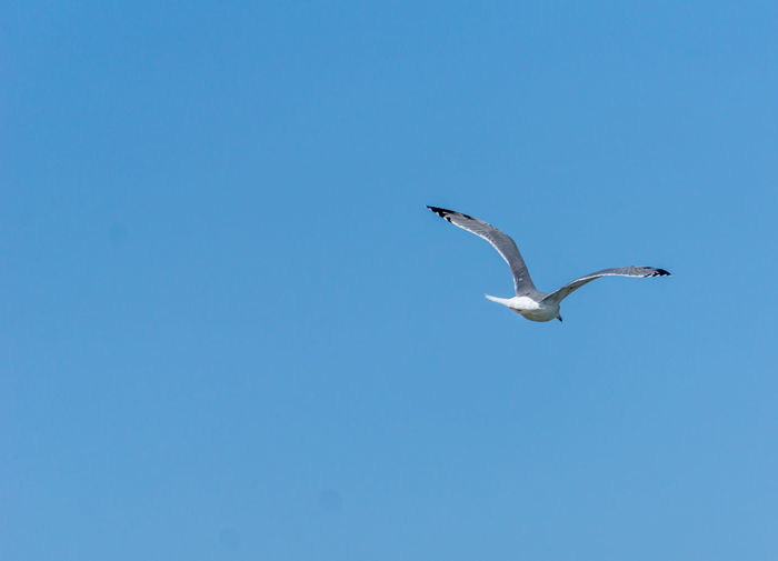 Seagull flying Animal Animal Themes Animal Wildlife Bird Blue Clear Sky Day Flying Low Angle View Mid-air Nature No People One Animal Seagull Sky Spread Wings Vertebrate