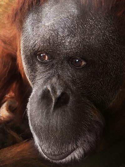 Sumatran Orangutan face Animal Ape Beard Close Up Endangered Animals Endangered Species Extinction Face Forest Habitat Hairy  Jungle Looking Mammal Monkey Orange Color Orangutan Ponginae Pongo Abelii Primate Primates Species Sumatran Orangutan White Beard Wildlife Zoo