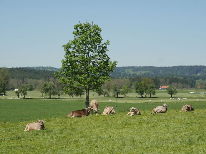 Cows relaxing on grassy field against clear sky
