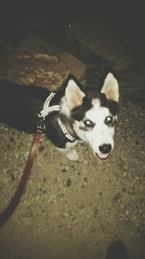 A night walk Husky Hello World My Dogs Are Cooler Than Your Kids