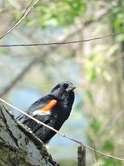 Red Winged Black Bird Bird Vertebrate Animal Animal Wildlife Animals In The Wild Animal Themes Focus On Foreground One Animal Perching Day No People Nature Railing Close-up Outdoors Black Color Cable Tree Metal Beak
