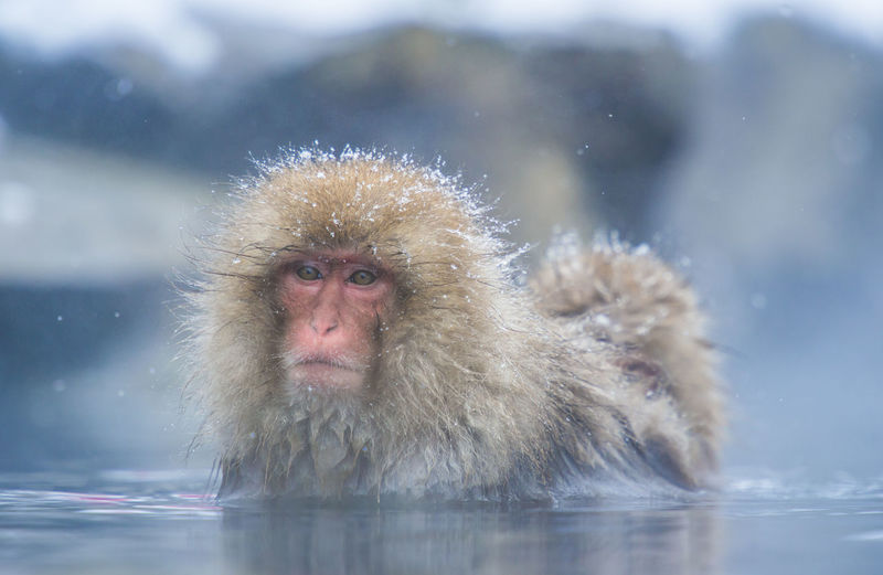 Snow monkey in a hot spring, Nagano, Japan Animal Animal Themes Animal Wildlife Animals In The Wild Cold Temperature Day Hot Spring Japanese Macaque Mammal Monkey Nature No People One Animal Primate Snow Snowing Vertebrate Water Waterfront Winter