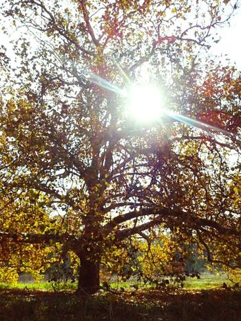 Sunlight thru Autumn colours Tranquil Scene Sunlight Lens Flare Autumn Leaves Autumn🍁🍁🍁 Autumn Colours Wagga Wagga Deciduous Tree Sunbeam Australian Landscape Australia Beauty In Nature Liquid Amber